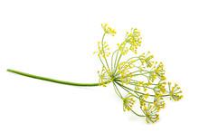 Wild Fennel Flower Isolated.