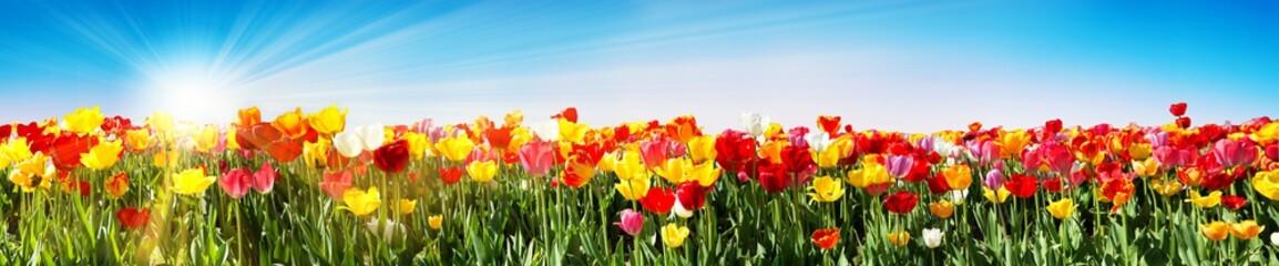 Tulpen im Frühling - Panorama Tulpenfeld