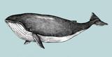 Ręcznie rysowane w stylu retro płetwal błękitny - 201953953