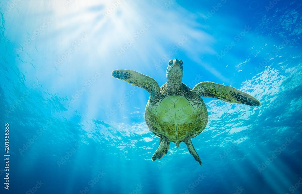 Fototapeta Turtle Belly