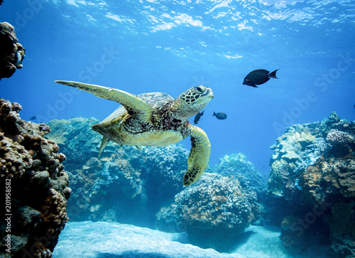 Spoed Foto op Canvas Schildpad Green Sea Turtle