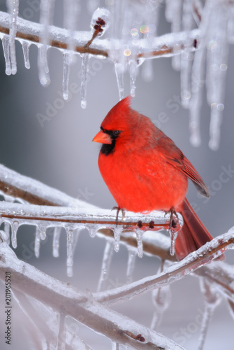 Tableau sur Toile Male Northern Cardinal in Ice