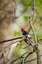 Red-headed Woodpecker, Male