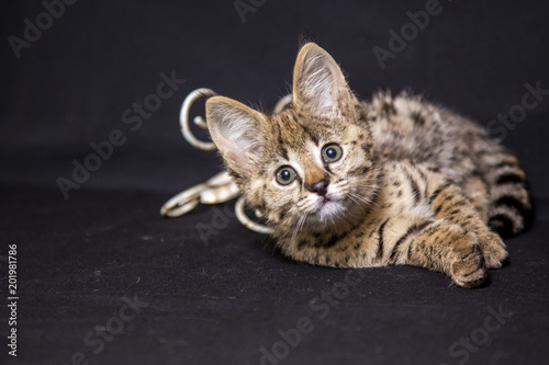 Canvas Prints F1 Spotted cat Savannah F1
