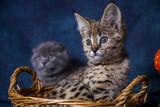 Fototapeta Sawanna - Spotted cat Savannah F1