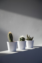 Cactus Plants On Wall In Sunli...