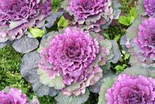 Purple Cabbage Field (brassica...