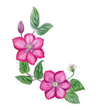 Clematis Border. Watercolor Hand Painted Botanical Element Design. Can Be Used As Print,postcard, Invitaiton, Greeting Card, Packaging Design, Textile, Stickers, Tattoo And So On.