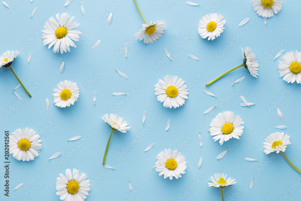 Fototapety, obrazy: Daisy pattern. Flat lay spring and summer chamomile flowers on a blue background. Repetition concept. Top view