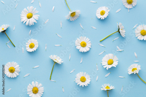 Spoed Foto op Canvas Madeliefjes Daisy pattern. Flat lay spring and summer chamomile flowers on a blue background. Repetition concept. Top view
