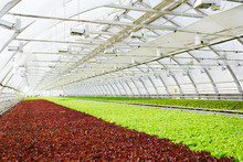 Red And Green Leaf Lettuce Gro...