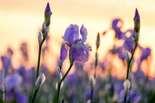 Fleurs d'iris sur le champ gros plan, lever de soleil.