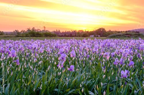 Deurstickers Iris Champ de fleurs d'iris . Lever de soleil. Provence, France.