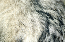 Dog Fur Of Alaskan Malamute Close Up Texture Background