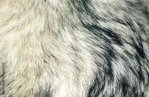 Dog fur of Alaskan Malamute close up texture background Canvas Print