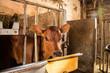 newborn little cow or calf