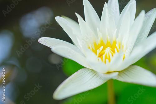 Keuken foto achterwand Lotusbloem lotus.