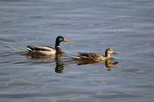 Male And Female Mallard Swimmi...