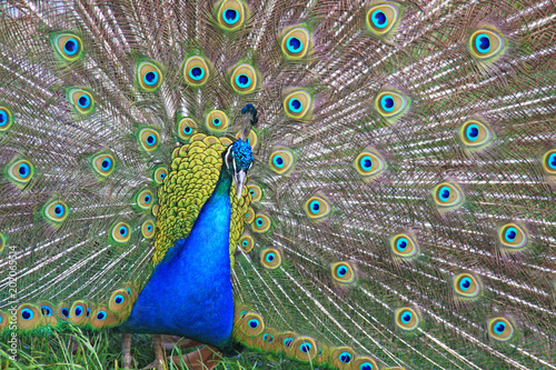 Foto op Aluminium Pauw The male peacock dissolved bright feathers