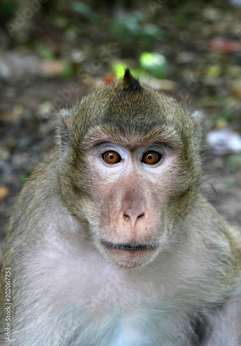 Foto op Aluminium Aap Macaque Feral Monkey scavenging on edge of town