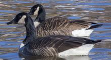 Two Beautiful Ducks Swimming