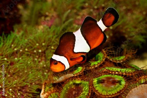 Fotografie, Tablou  Clownfish Anemonefish aquarium marine fish Amphiprion ocellaris