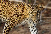 The Sri Lankan Leopard (Panthe...