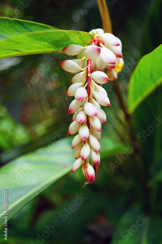 White and orange flowers of shell ginger (Alpinia zerumbet) Canvas Print