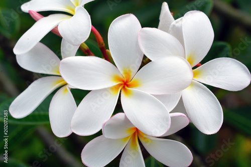 Poster Plumeria Fragrant blossoms of white and yellow frangipani flowers, also called plumeria and melia