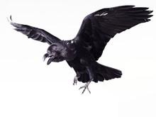 Close-up Black Raven On White ...