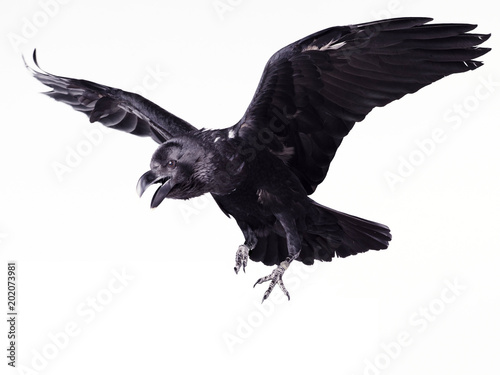 Close-up black raven on white background