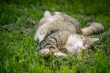 Multicolored Cat Enjoying Spring On Green Grass. Cat Sleep On Green Grass