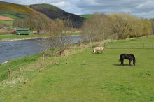 Horses On Banks Of River Tweed...