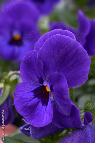 In de dag Pansies violet horned pansy