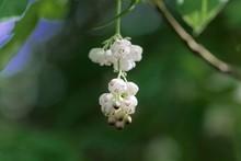 Flowers Of A European Bladdernut