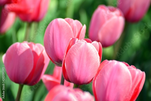 Tulips in spring. Colourful tulip #202095915