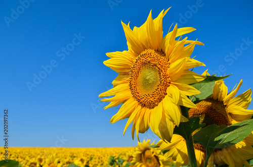 Spoed Foto op Canvas Zonnebloem Young sunflowers bloom in field against a blue sky