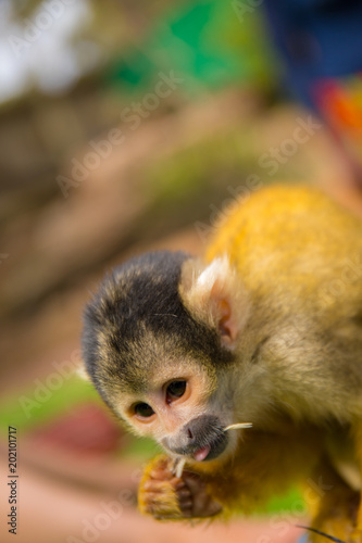Photo  Small yellow monkey