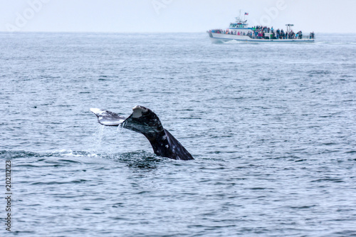 Whale watching in Southern California with the tail of a grey whale out of the water and a boat in the background