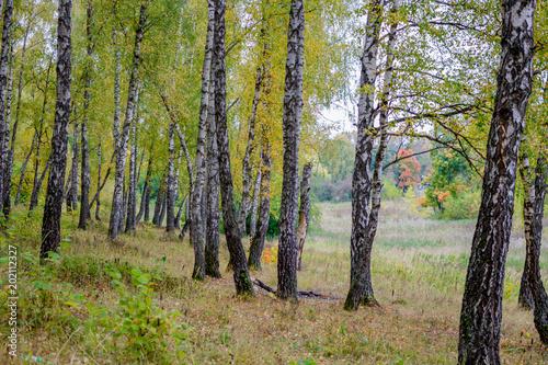 Aluminium Prints Birch Grove Birch on the forest edge on a summer day