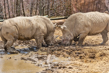 Two Large Rhinos Aggressively ...