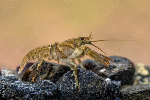 European crayfish on rocky riverbed