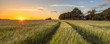Leinwandbild Motiv Tractor Track in Wheat field at sunset