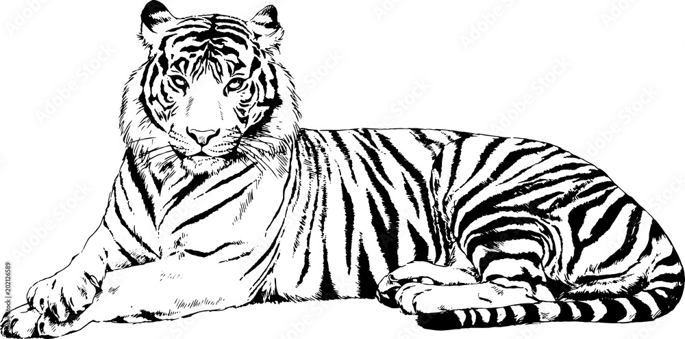Fototapeta large striped tiger drawn ink sketch in full growth