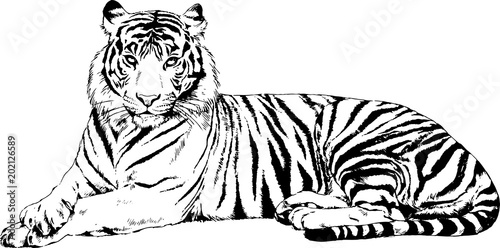 Canvas-taulu large striped tiger drawn ink sketch in full growth