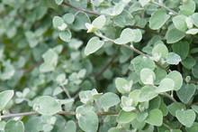 Helichrysum Petiolatum Or Or L...