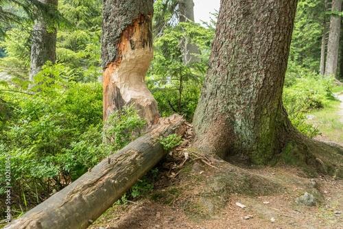 Vom Bieber angenagte Bäume und Baumstämme, Bayern - Deutschland Canvas Print