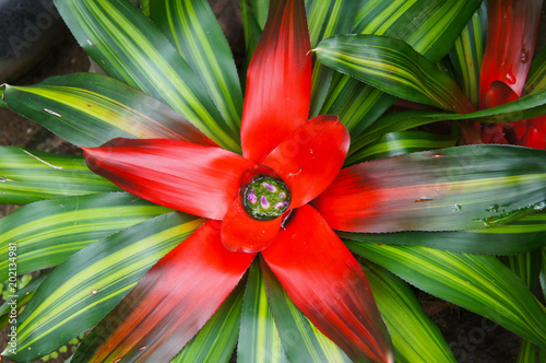Fotografie, Obraz  Neoregelia carolinae or blushing bromeliad green and red plant