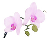 two pink orchid blooms on branch