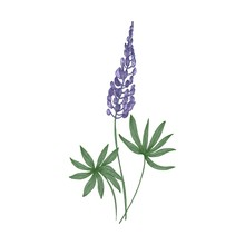 Elegant Botanical Drawing Of L...